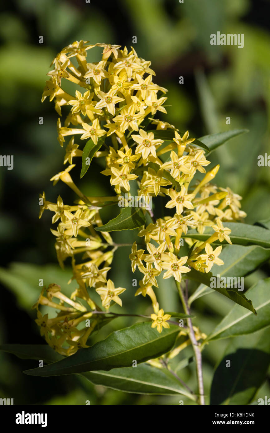 Yellow Jessamine Stock Photos Yellow Jessamine Stock Images Alamy
