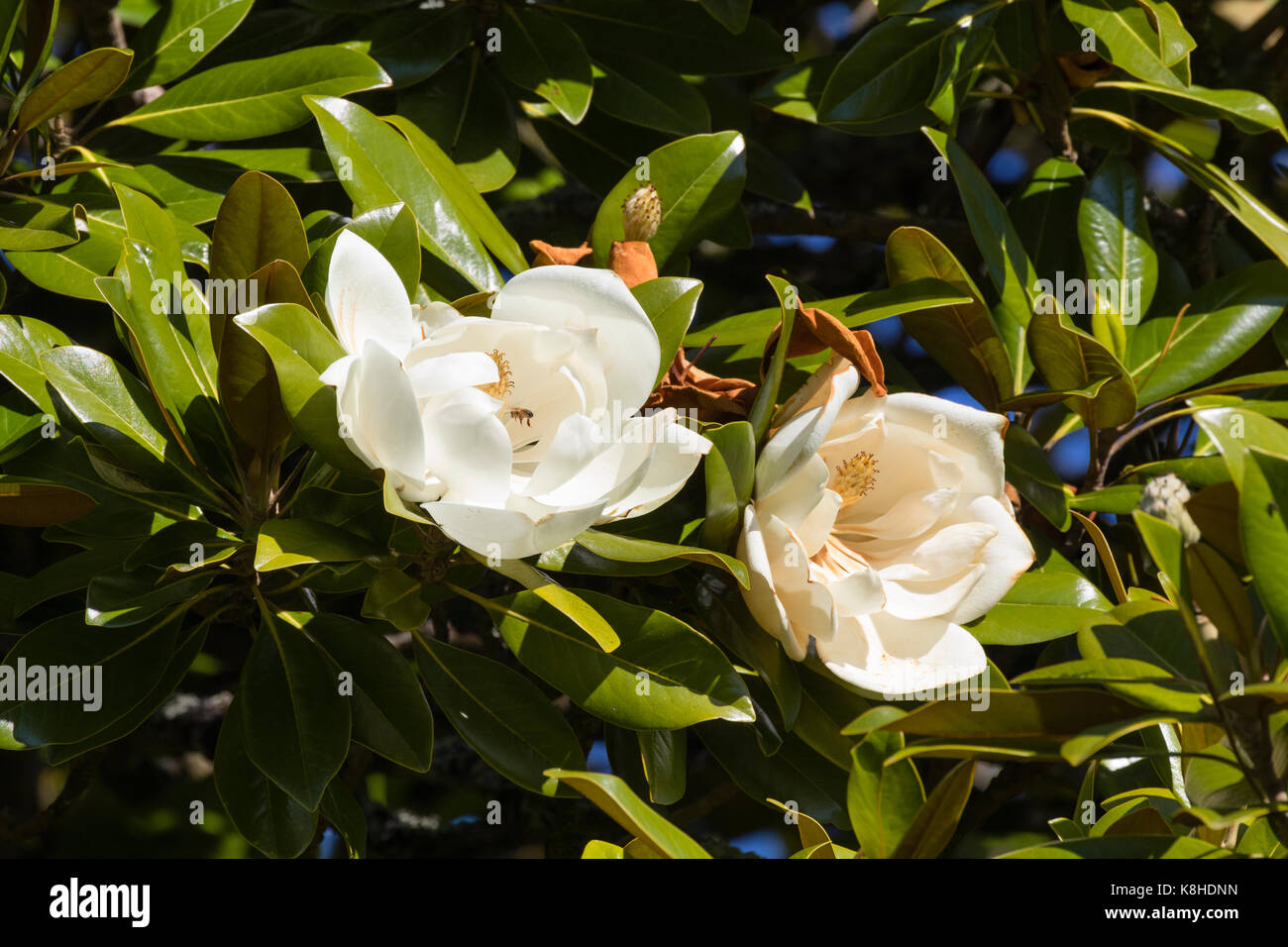 Creamy White Fragrant Summer Flowers Of The Bull Bay Tree Magnolia