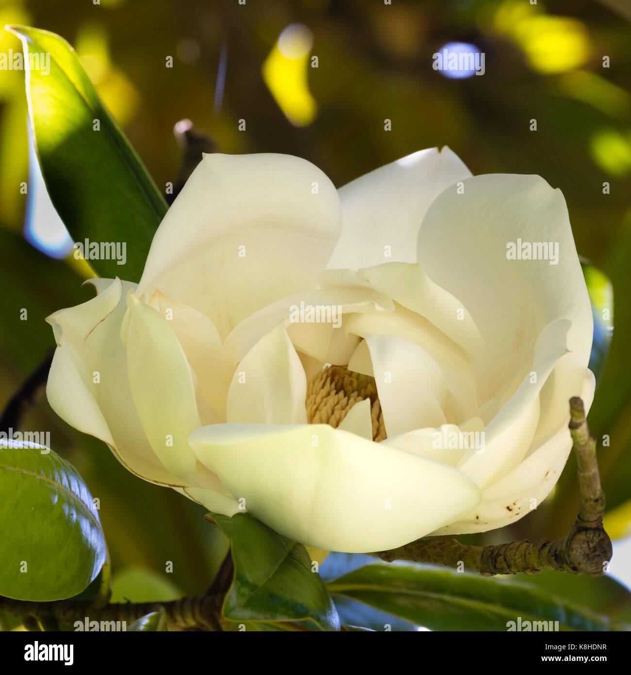 Creamy white fragrant summer flower of the evergreen bull bay tree, Magnolia grandiflora - Stock Image