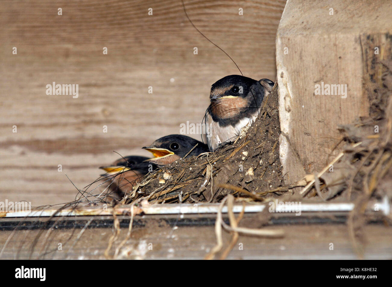 Barn nest of three swallow chicks hirundo rustica with mouth gapes open begging and calling for food in the nest - Stock Image
