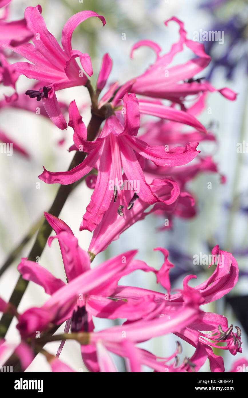 Nerine bowdenii. Bowden lily flowers in a display at RHS Wisley autumn flower show. Surrey. UK - Stock Image
