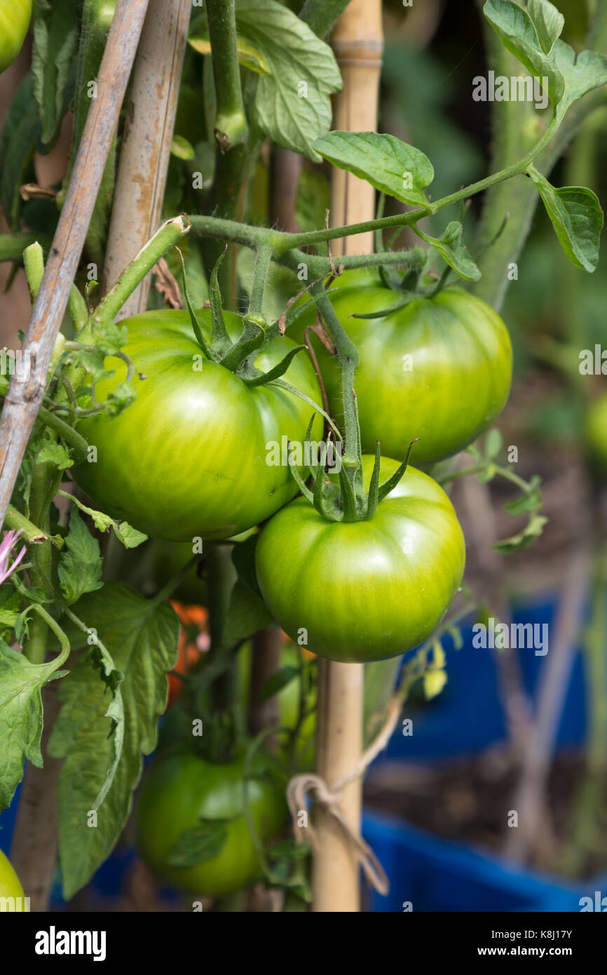 Unripe green tomatoes growing at an allotment - Stock Image