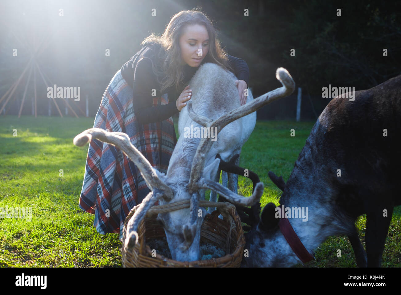 Woman in a plaid skirt feeding reindeer tarandus on green field - Stock Image