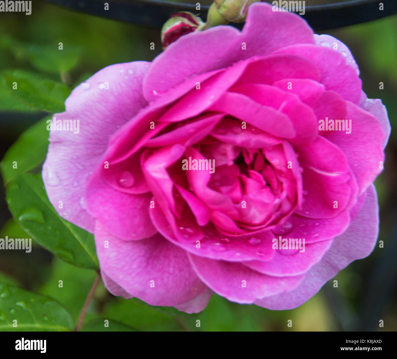 Large, double, cup-shaped,deep pink Rosa Gertrude Jekyll blooms July to September, with  damask fragrance  a popular, - Stock Image