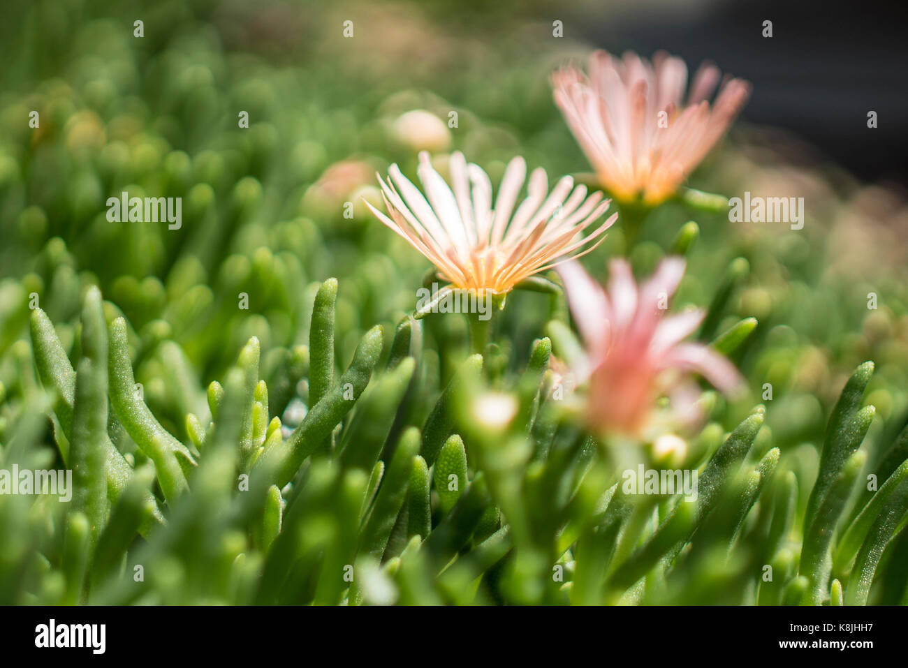 "Alan's Apricot, or ""hardy ice plant"", blooming in the Denver Botanical Garden. Stock Photo"