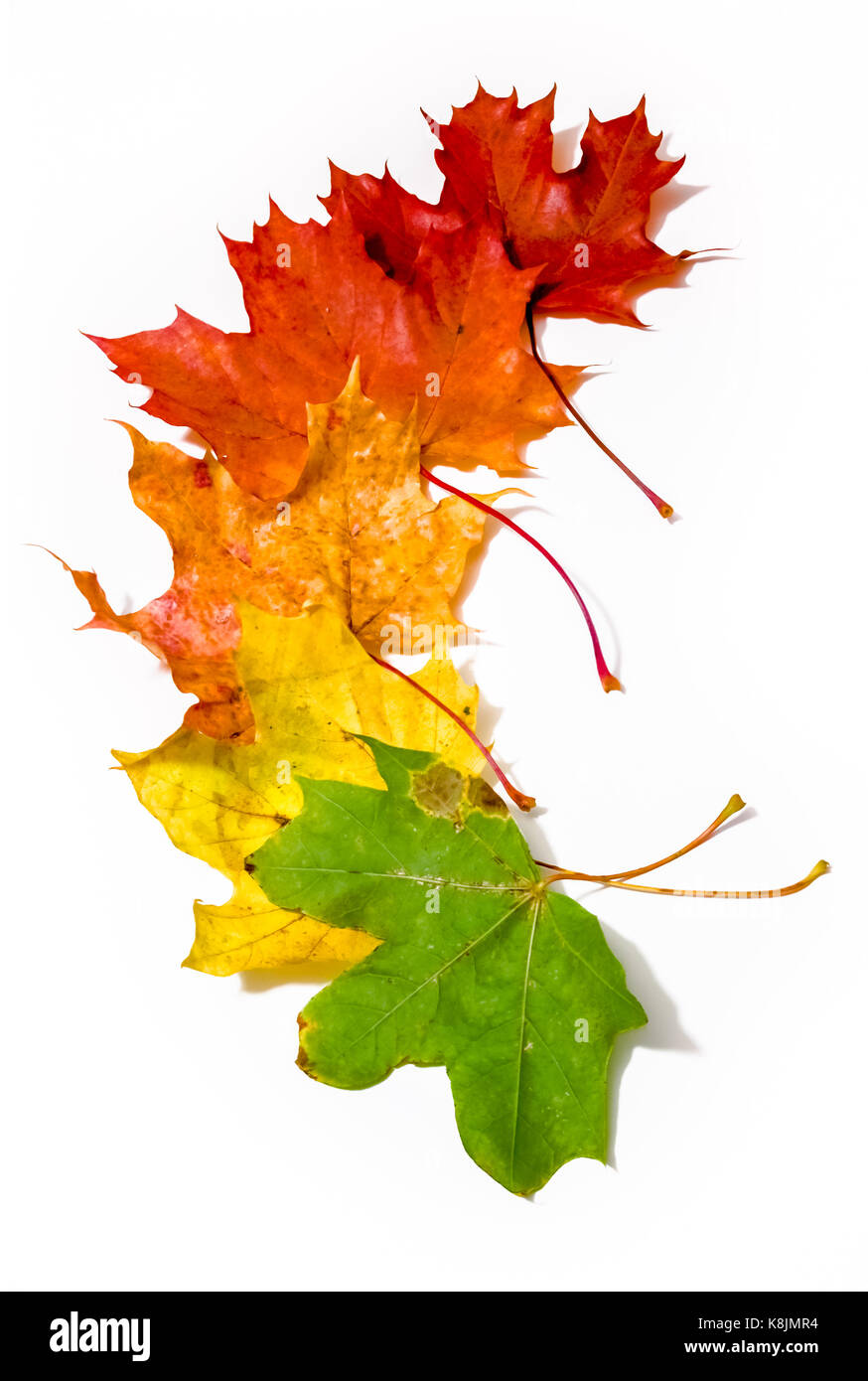 Maple Tree Leaves Of Different Colors Laid Out Vertically Stock