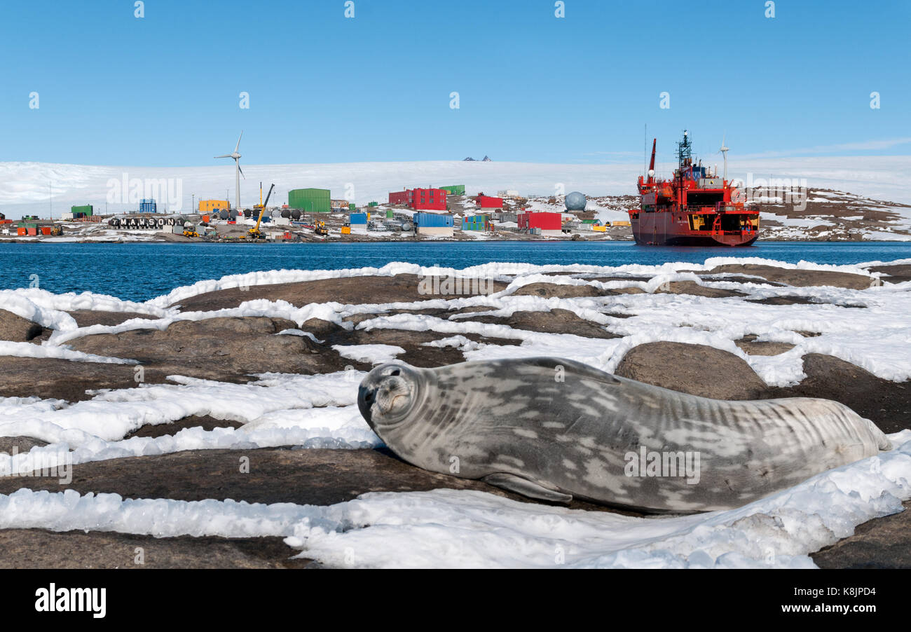 Adult Weddell Seal in front of ship Aurora Australis and Mawson Station, Antarctica - Stock Image