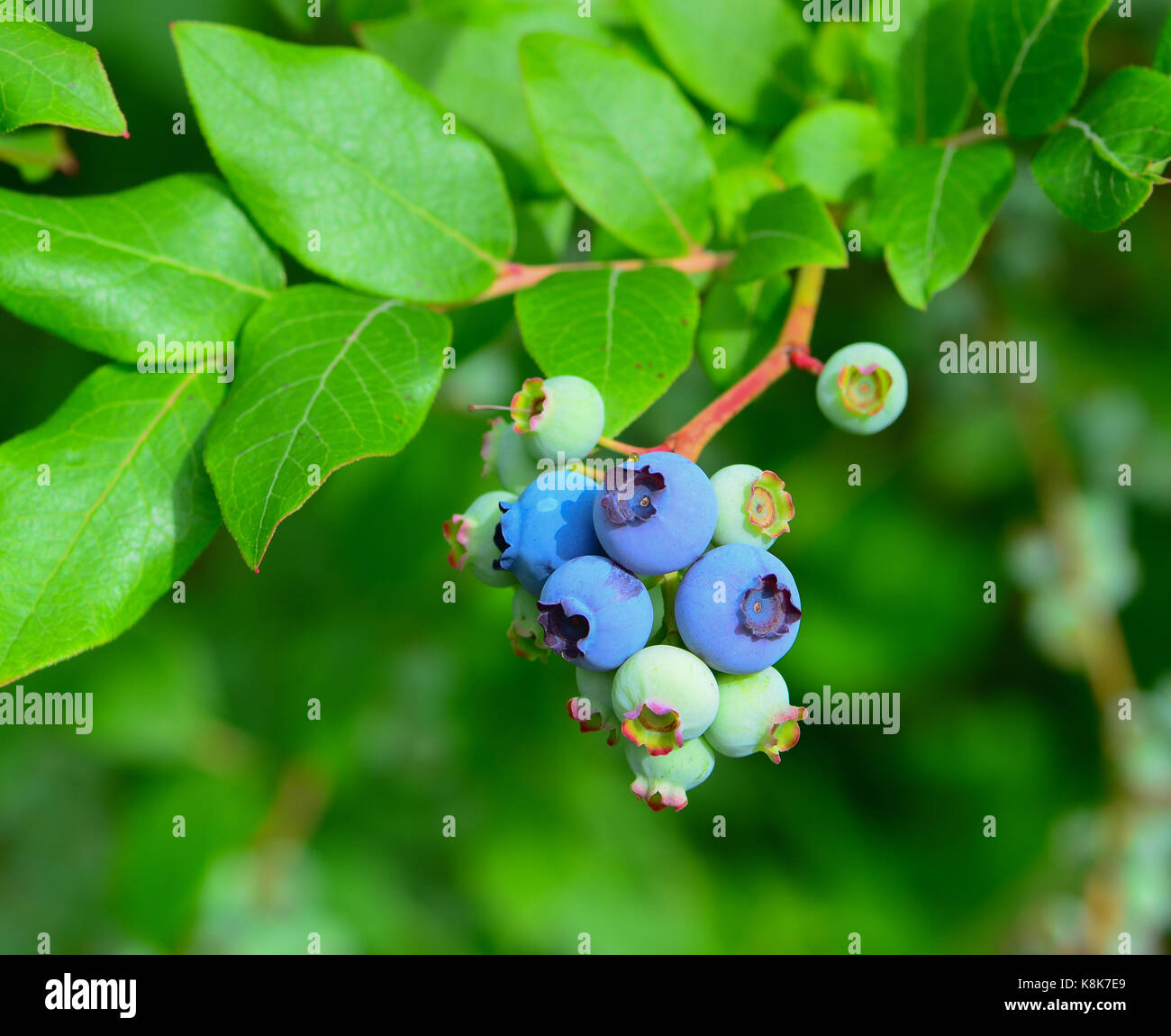 Wild blueberries ripening on the vine in a wilderness meadow. - Stock Image