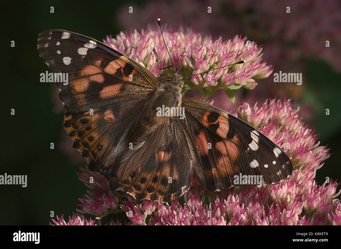 American Painted Beauty Butterfly Nectaring Sedum Flowers - Stock Image