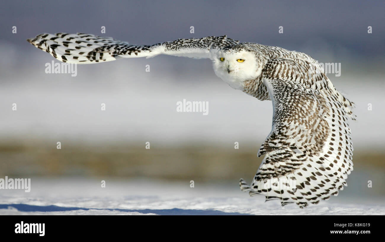 Close up action portrait of a snowy owl flying and looking at the camera with snow in the background. - Stock Image