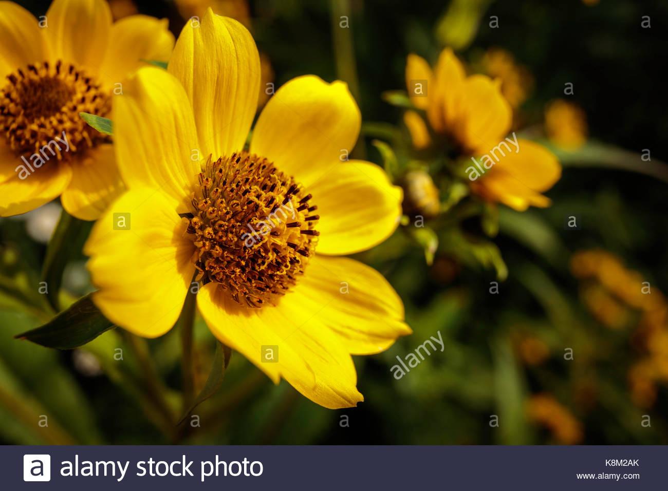 Bidens cernua sunflower nodding beggartick nodding bur-marigold flower wildflower growing in Rouge National Urban - Stock Image