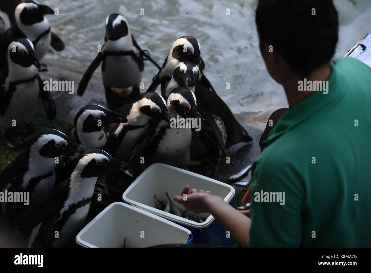 Madrid, Spain. 19th Sep, 2017. African penguins queueing to eat at Madrid zoo. Credit: Jorge Sanz/Pacific Press/Alamy Live News Stock Photo