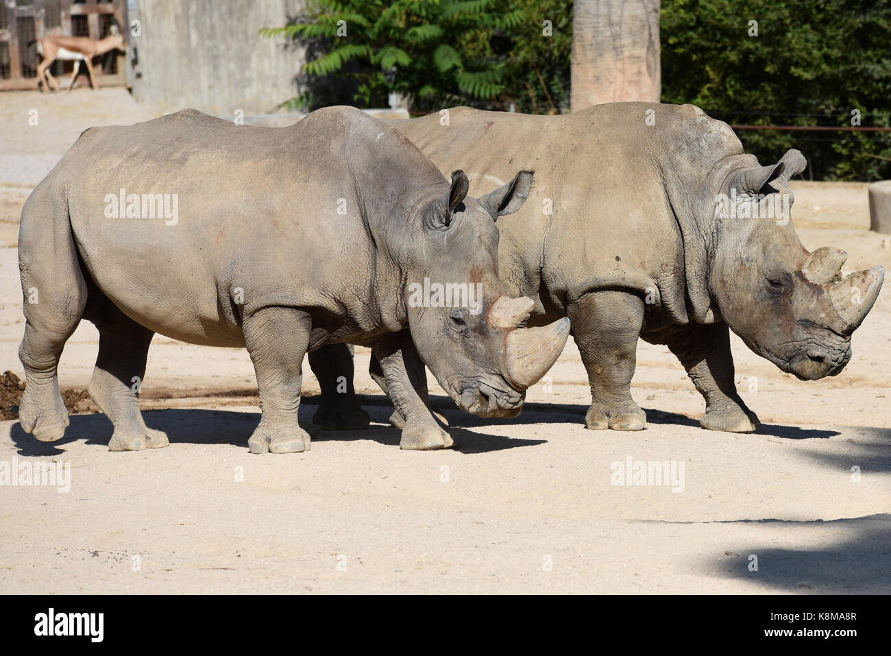 Madrid, Spain. 19th Sep, 2017. Two White rhinoceros (Ceratotherium simum) pictured at Madrid zoo. Credit: Jorge Stock Photo