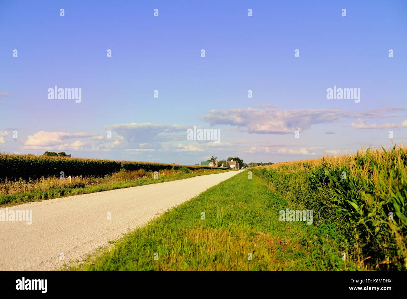 A dirt road bordered on both sides by mature corn crops in rural Illinois near Somonauk, Illinois, USA. - Stock Image