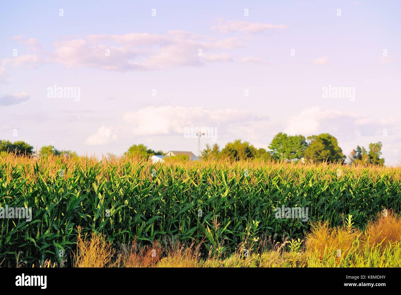 A mature corn crop obscures buildings on a farm in rural Illinois near Somonauk, Illinois, USA. - Stock Image