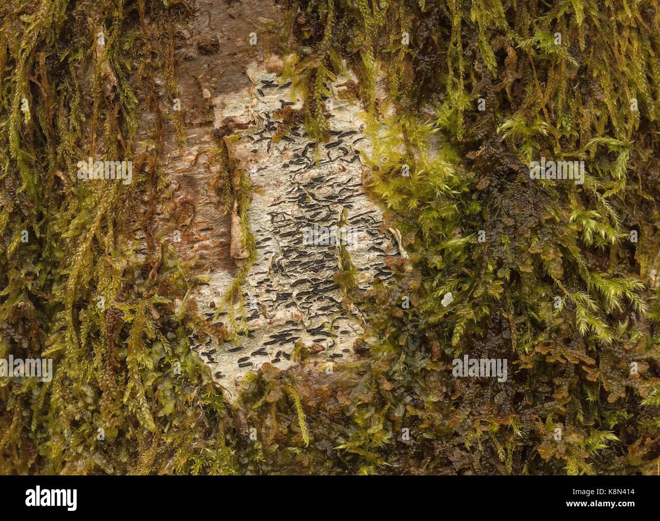 Script lichen, Graphis scripta, a crustose lichen on old birch,  Devon - Stock Image