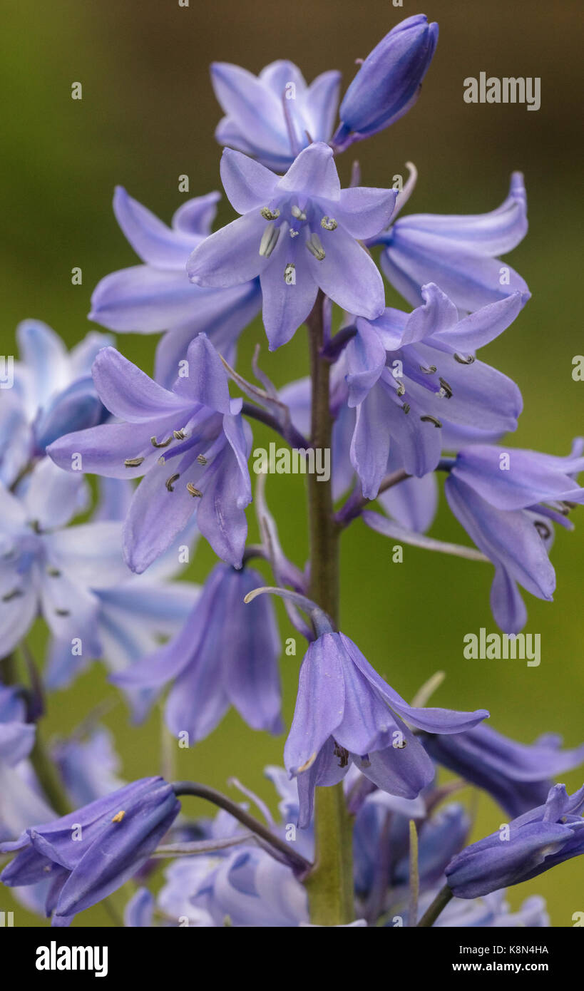 Spanish bluebell, Hyacinthoides hispanica, in flower in spring; garden. - Stock Image