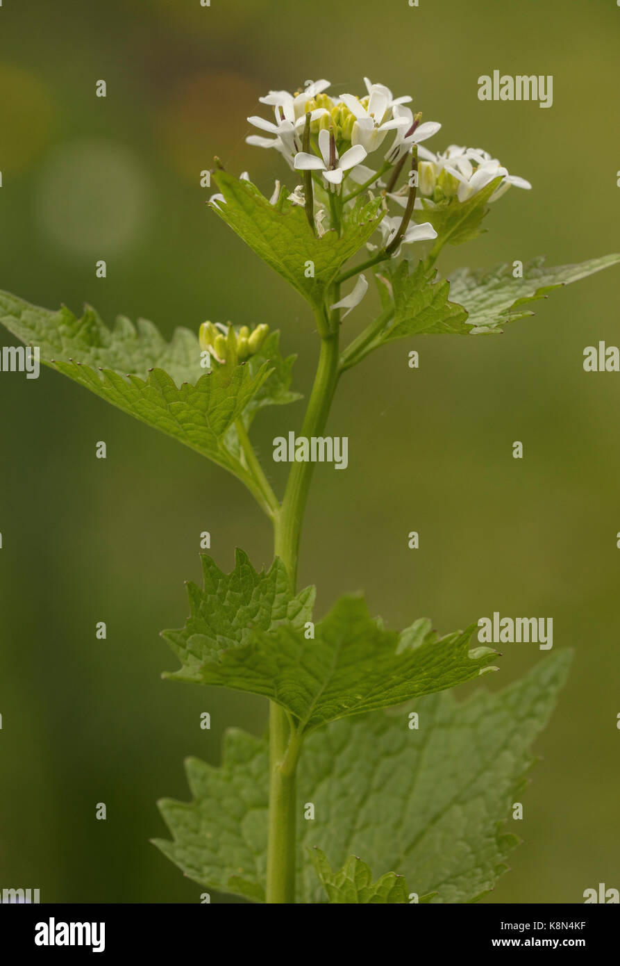 Jack-by-the-hedge or Garlic Mustard, Alliaria petiolata, in flower in spring. Stock Photo