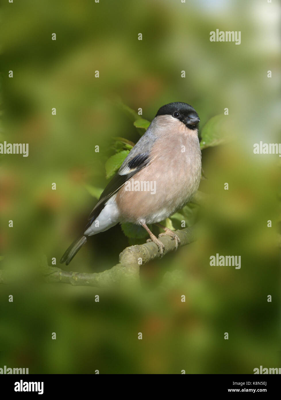 Bullfinch - Pyrrhula pyrrhula - Female - Stock Image
