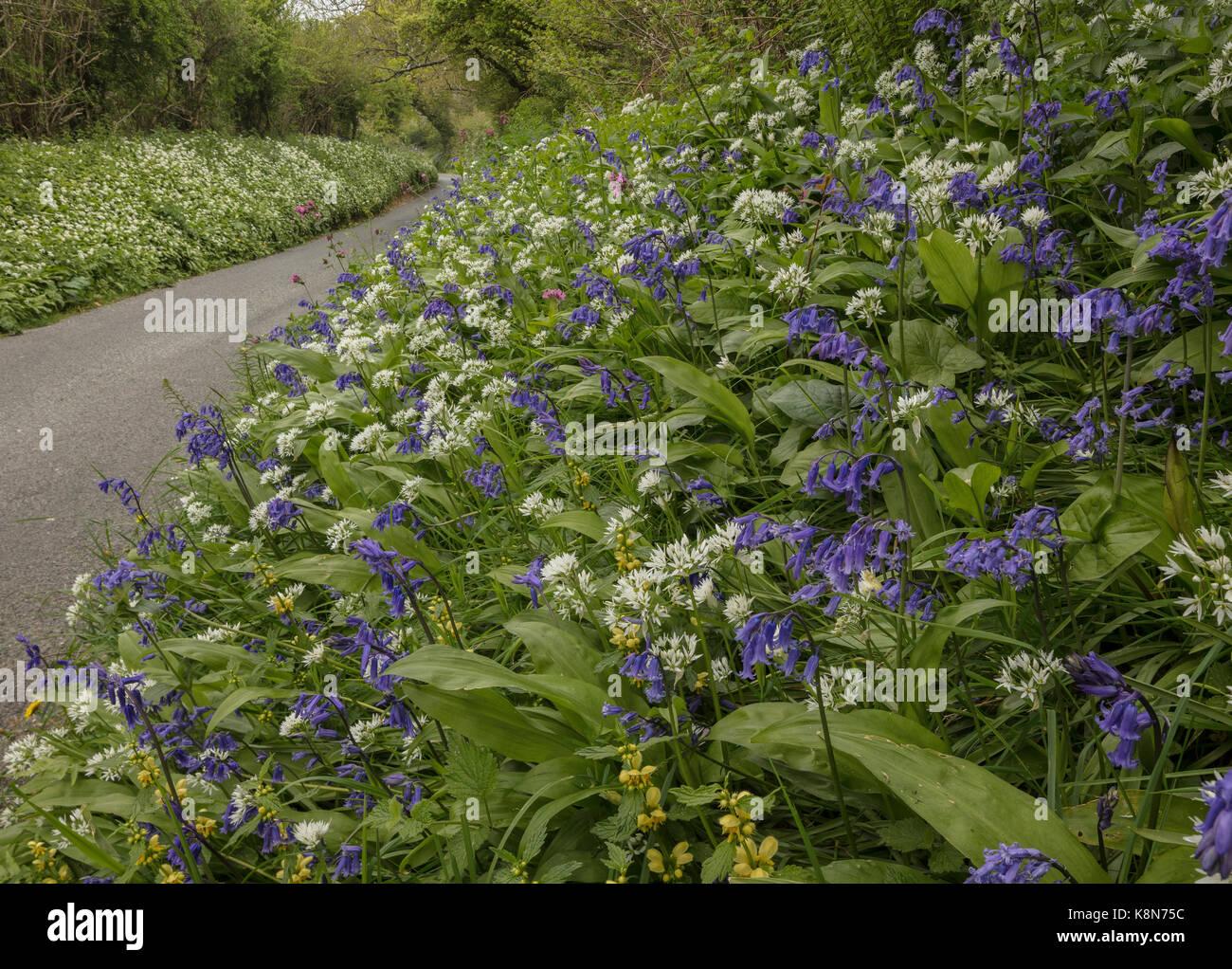 Beautiful flowery roadside verge in spring, with bluebells, wild garlic etc. near Powerstock, Dorset - Stock Image