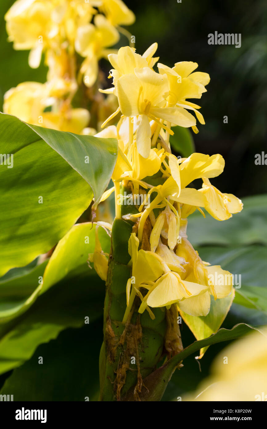 Yellow flowers in the spike of the exotic ginger lily hedychium yellow flowers in the spike of the exotic ginger lily hedychium wardii mightylinksfo