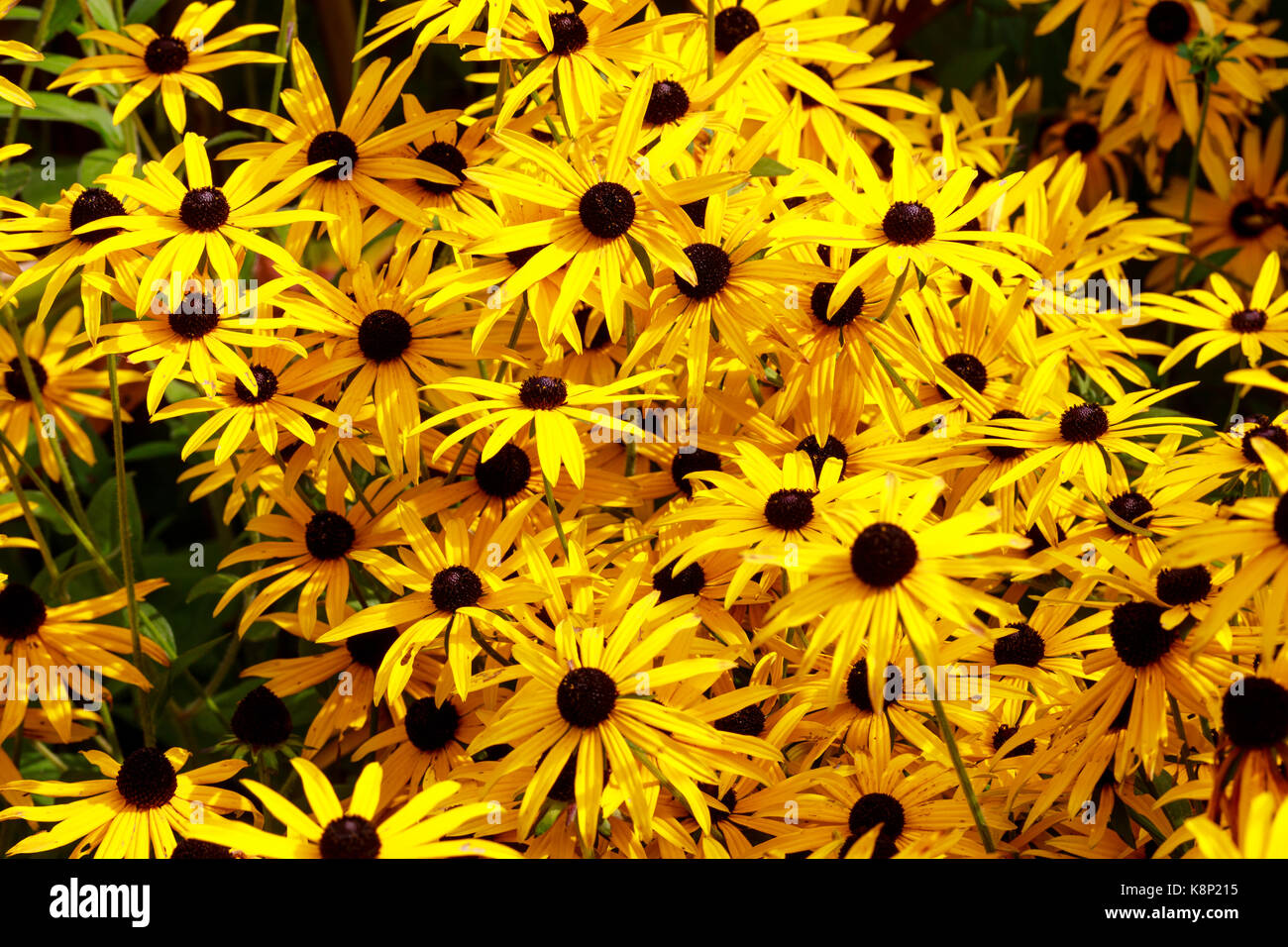 Flowers With Yellow And Black Centre Stock Photos Flowers With