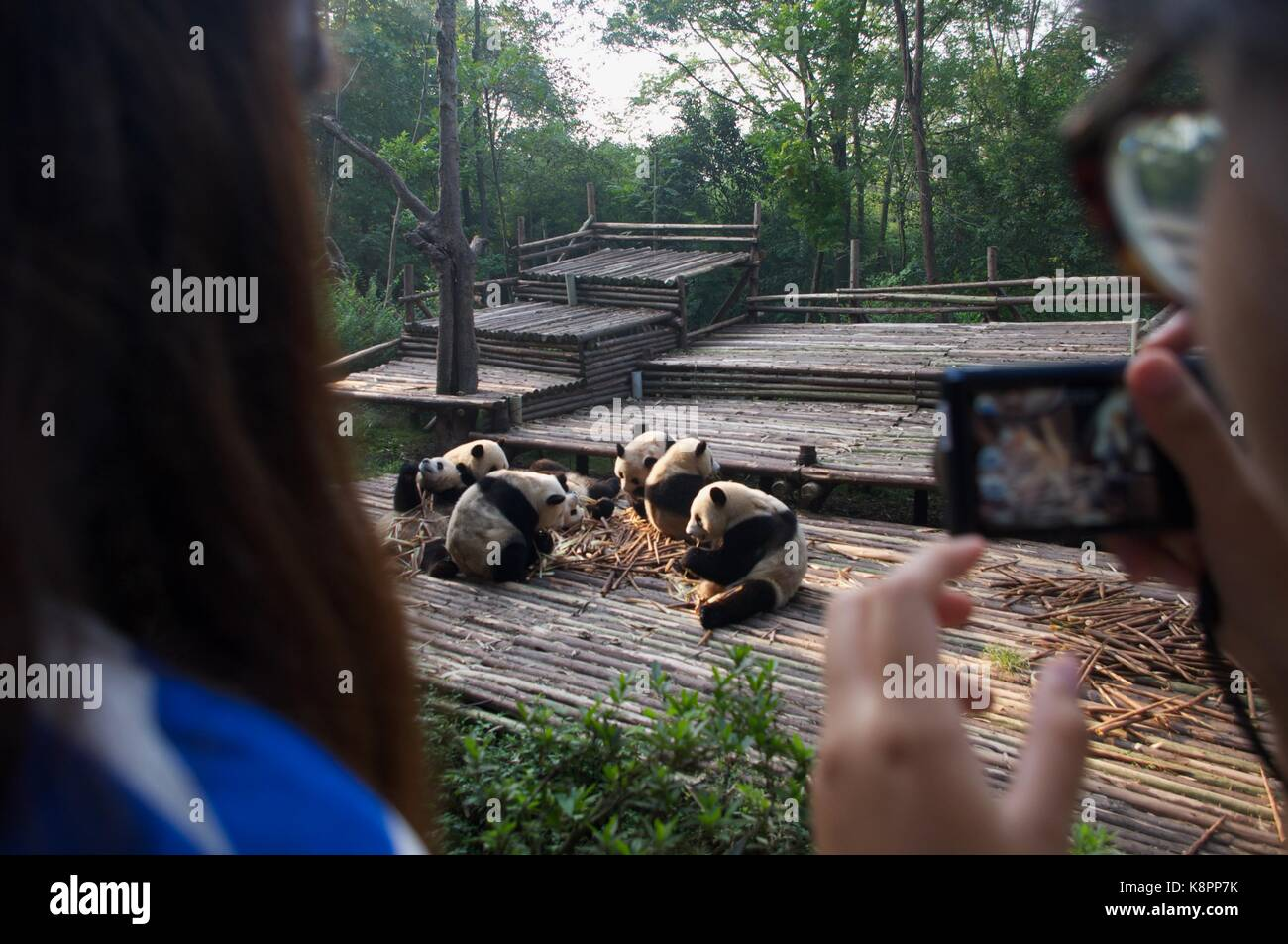 Tourists take photos of young pandas eating their breakfast at Chengdu Panda Breeding Research Center in August - Stock Image