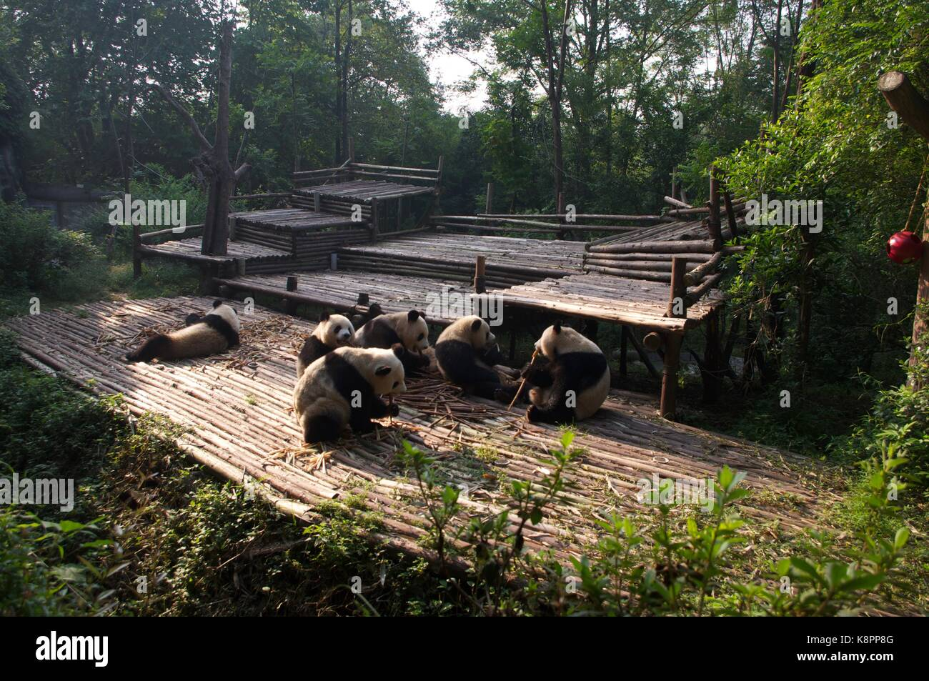 Young panda bears enjoy their bamboo breakfast at Chengdu Panda Breeding Research Center in Chengdu, Sichuan Province, - Stock Image