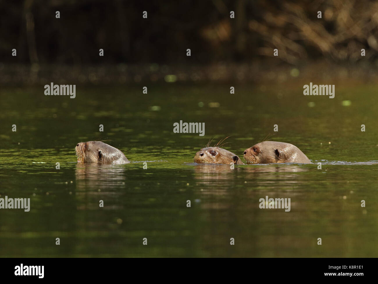 Giant Otter (Pteronura brasiliensis)  three adults swimming in river  Inirida, Colombia        November Stock Photo