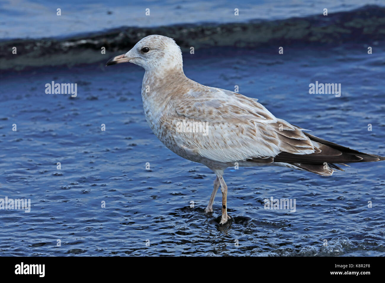 Kamchatka Gull (Larus canus camtschatchensis) first winter walking in shallow water  Choshi; Chiba Prefecture, Japan - Stock Image