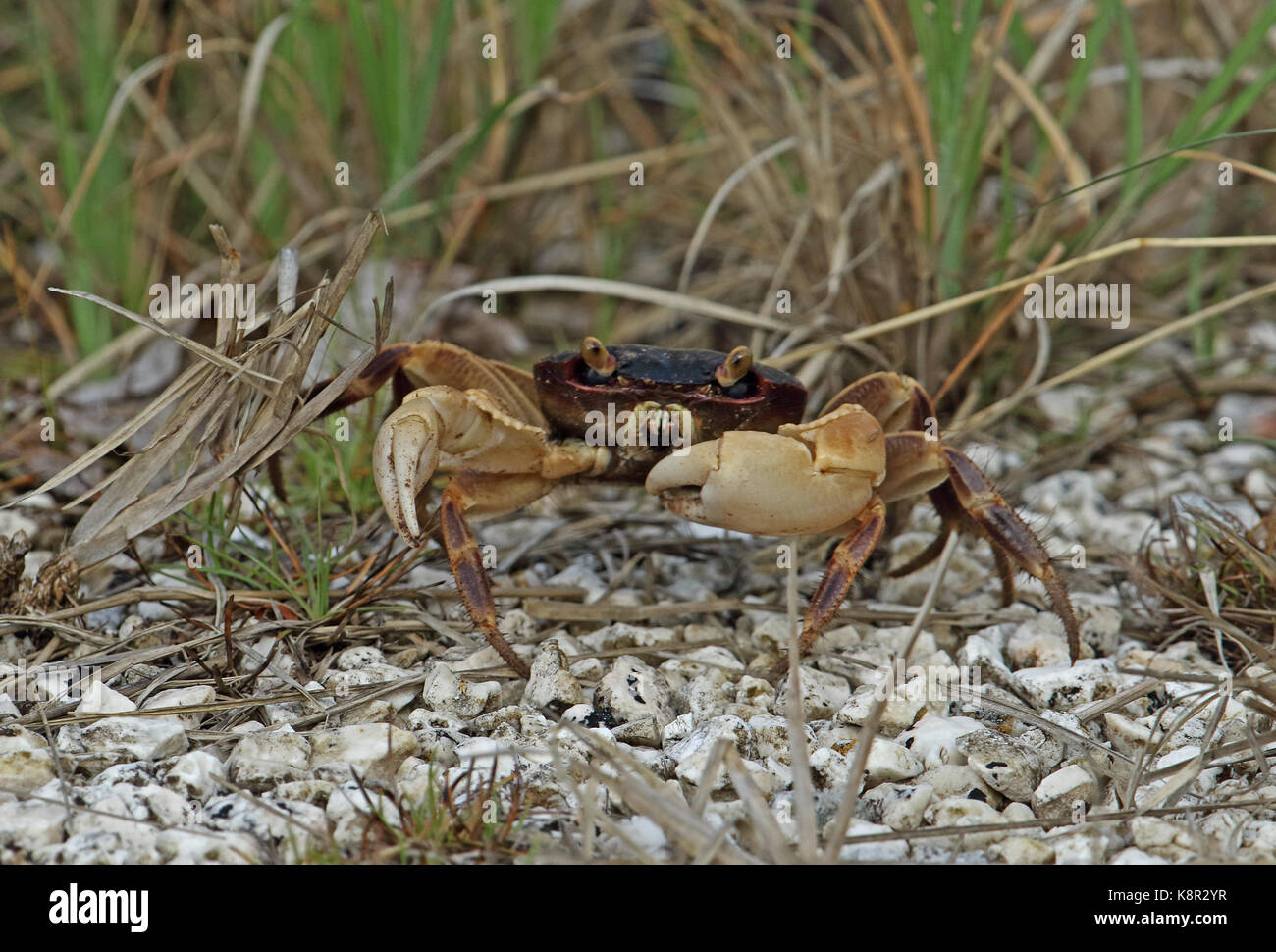Little Nipper (Geograpsus grayi) adult in grass on side of road  Christmas Island, Australia          July - Stock Image