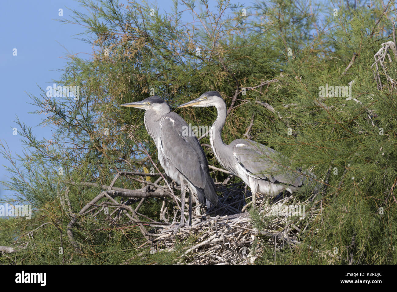 Grey heron (Ardea cinerea), two young standing on nest, Camargue, Bouches-du-Rh'ne, Provence, France, June - Stock Image