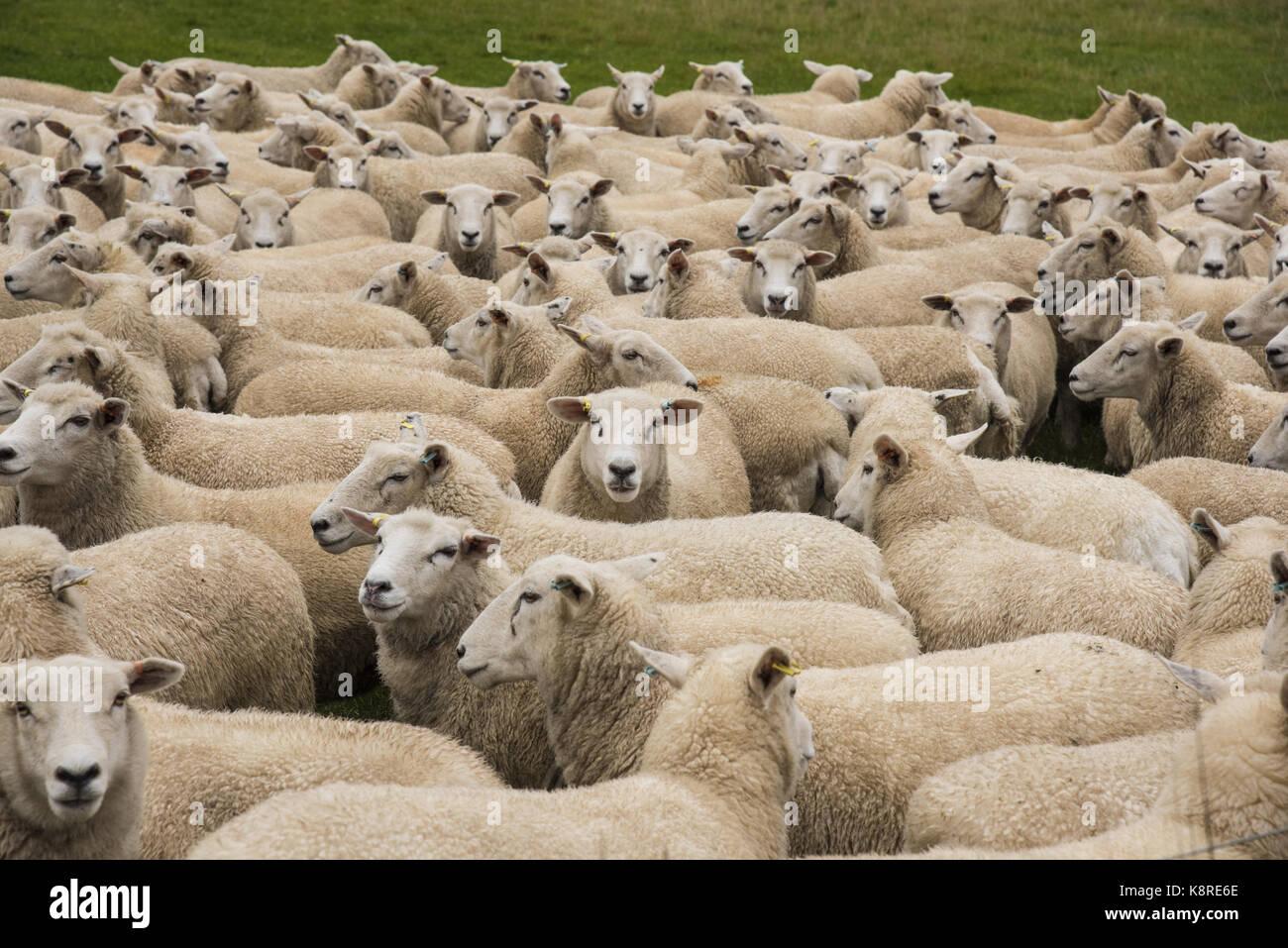 Highlander ewes, York, Yorkshire. - Stock Image