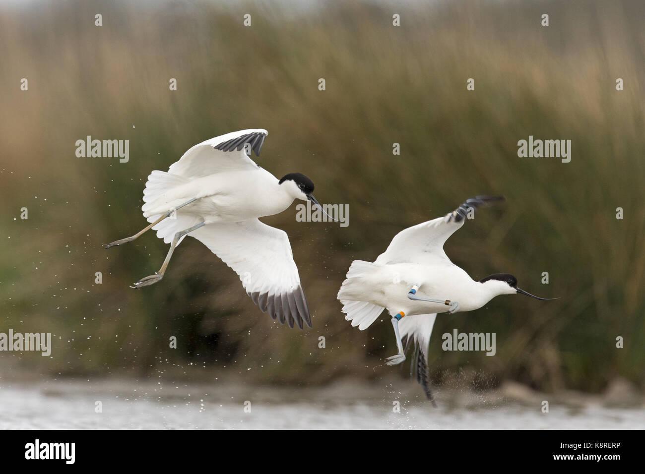 Bird Leg Bands Stock Photos & Bird Leg Bands Stock Images - Alamy