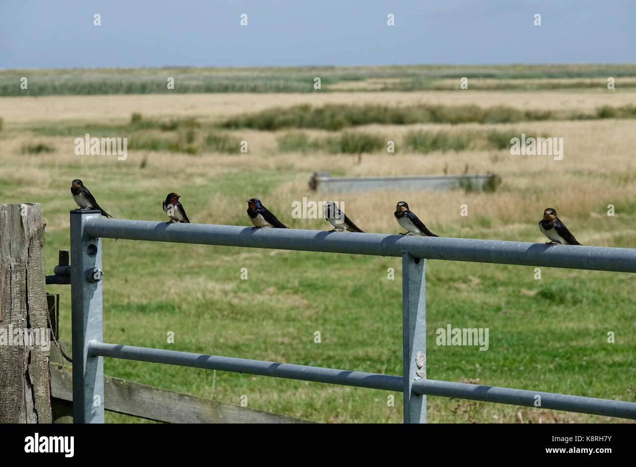 Swallows on fence , both adult and juvenile, July, Deepdale Marsh Norfolk. - Stock Image