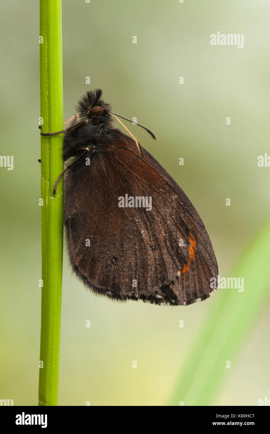 Brush-footed butterfly (Erebia), Aosta Valley, Italy - Stock Image
