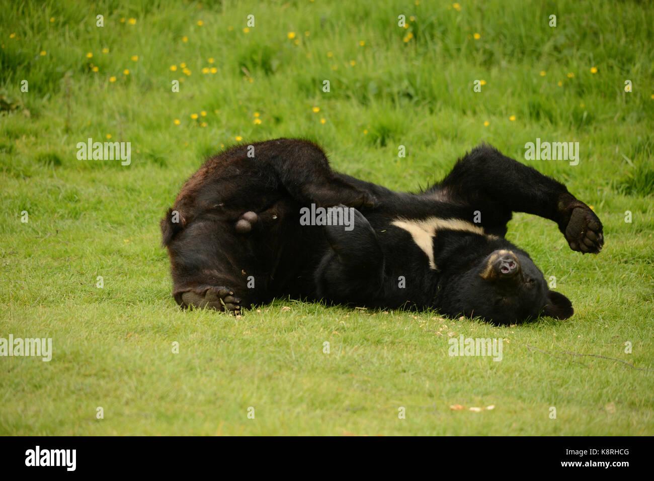 Brown bear - Stock Image
