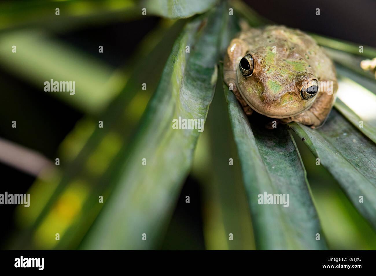 Cuban Treefrog - Green Cay Wetlands, Boynton Beach, Florida USA - Stock Image