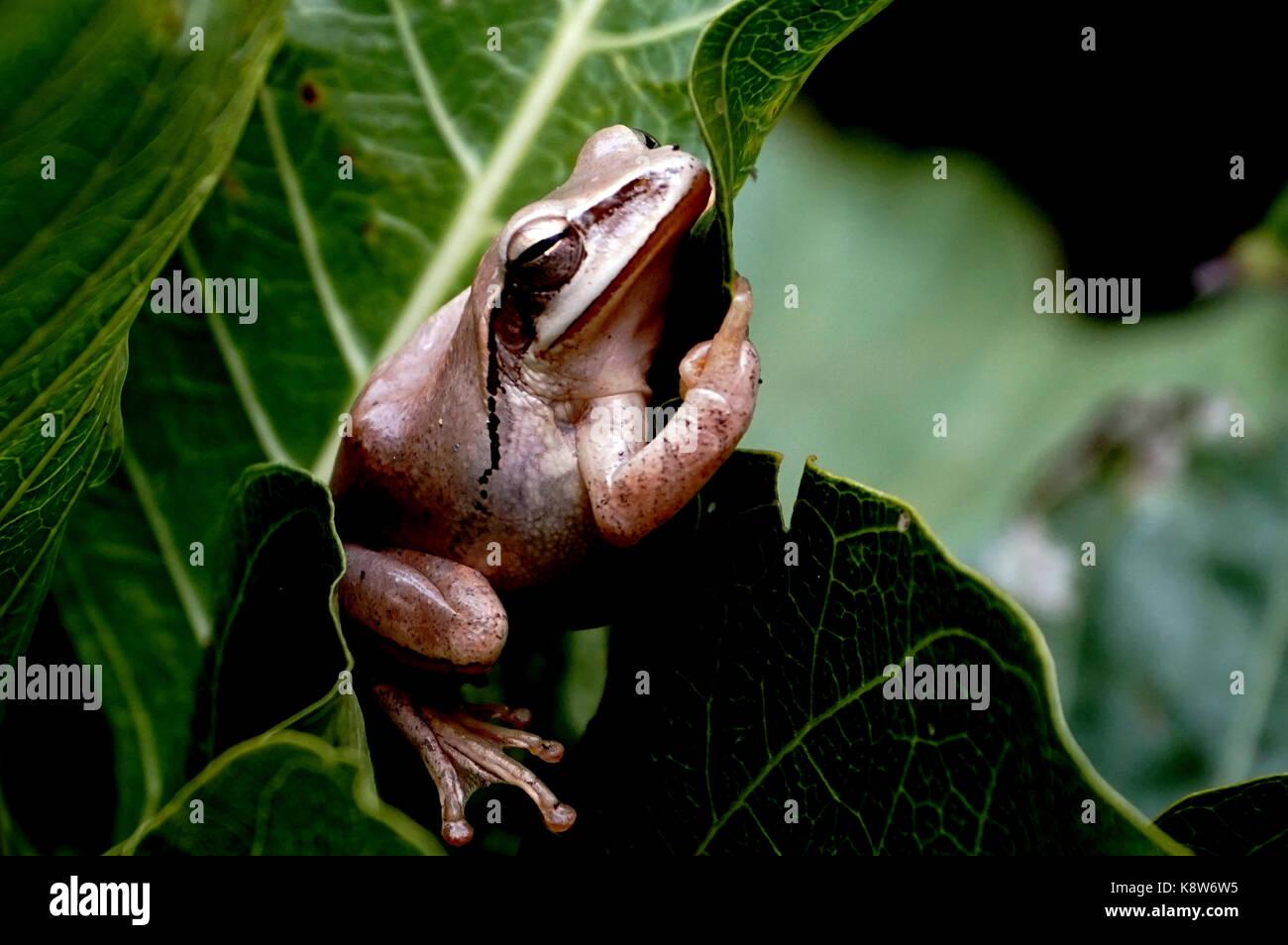 A Sleeping Tree Frog - Stock Image