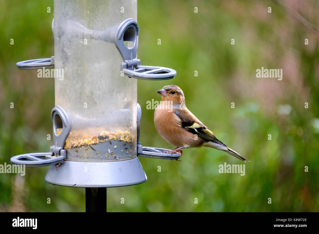 Chaffinch on a bird feeder - Stock Image
