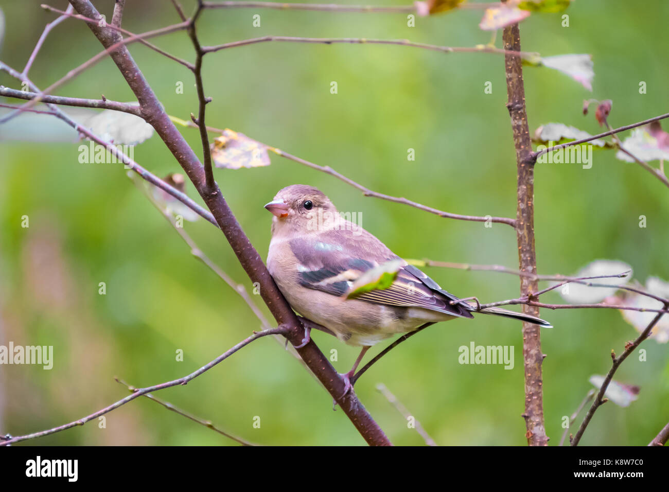 Chaffinch on a tree branch - Stock Image