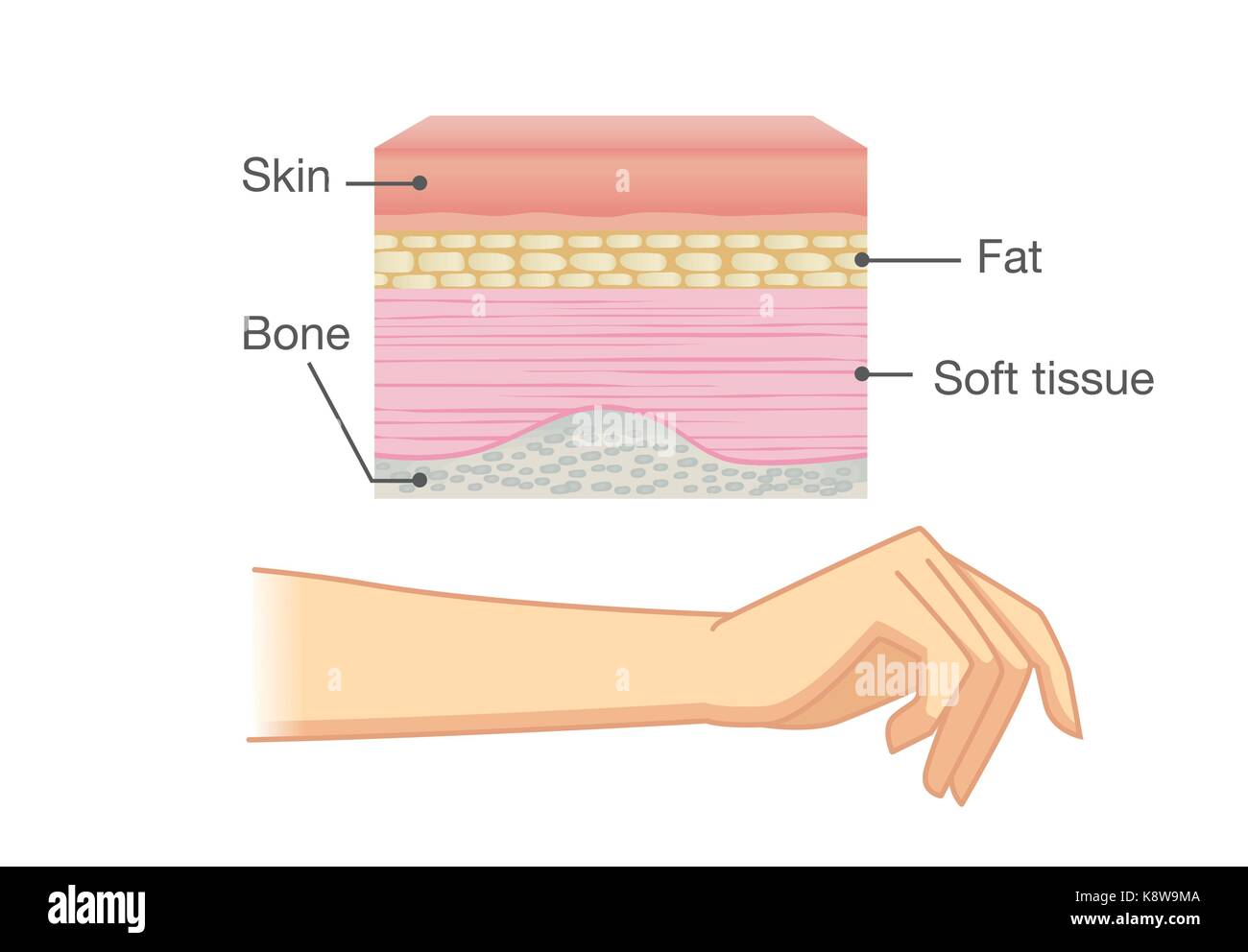 anatomy of human skin layer and arm  - stock image