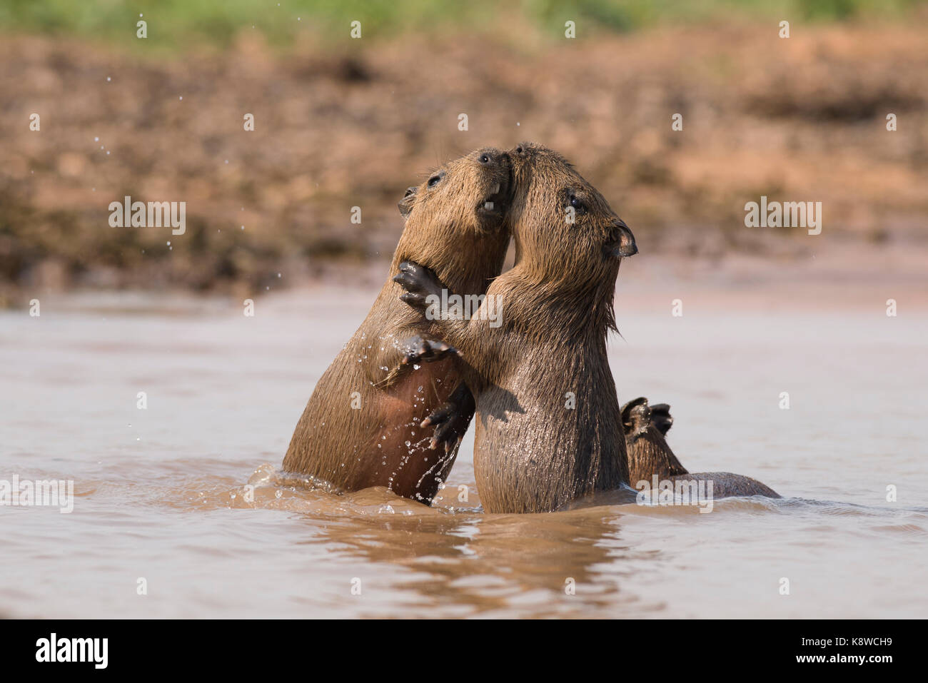 Baby Capybaras playing on the water, in North Pantanal, Brazil Stock Photo