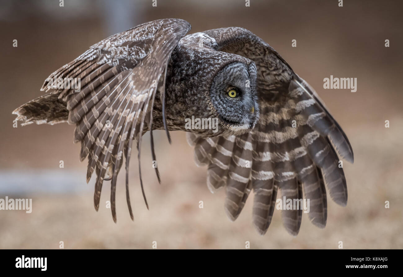 Great Gray Owl in Flight - Stock Image