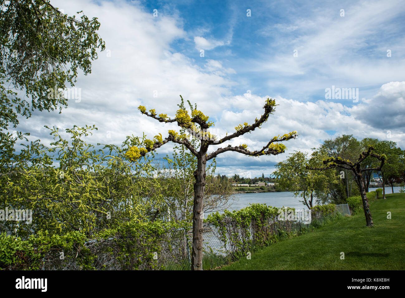 Come Hither - An unearthly tree beckons the weary traveler on the Apple Capital Loop Trail as the Columbia River - Stock Image