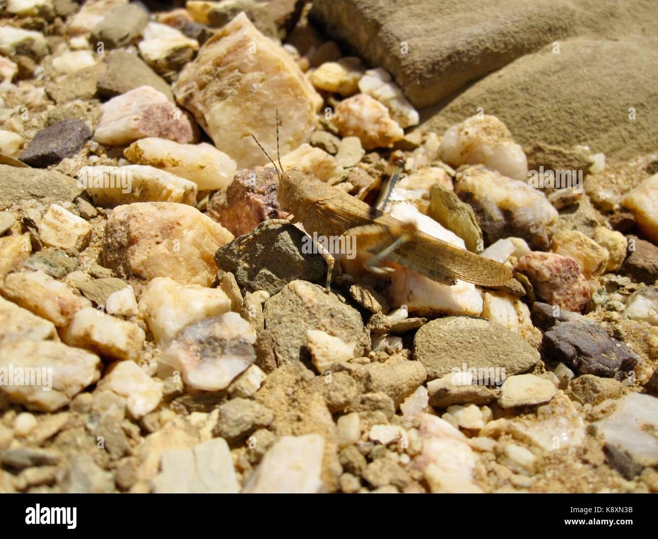 Gafanhoto em pavimento de gravilha Stock Photo