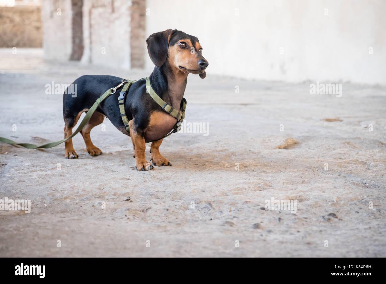 Sausage Dog Stock Photos & Sausage Dog Stock Images - Alamy