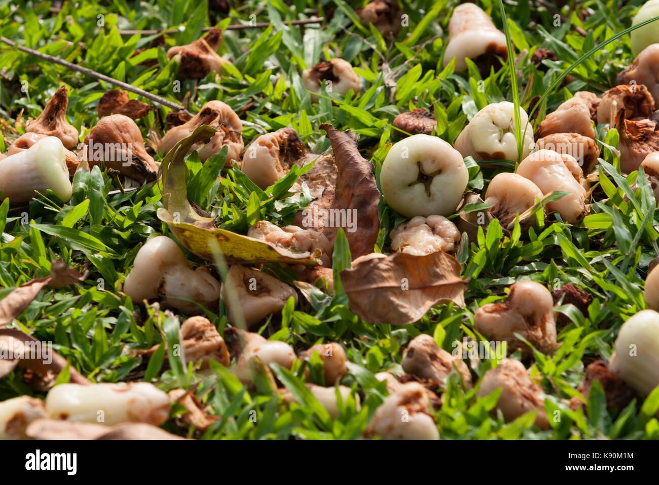 Wax Jambu Stock Photos & Wax Jambu Stock Images - Alamy