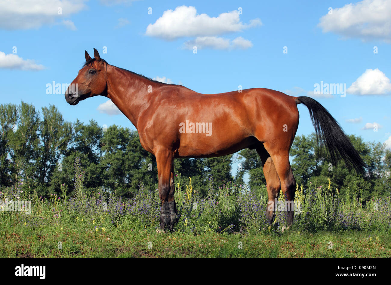 Thoroughbred brood horse in paddock of stud horse farm - Stock Image