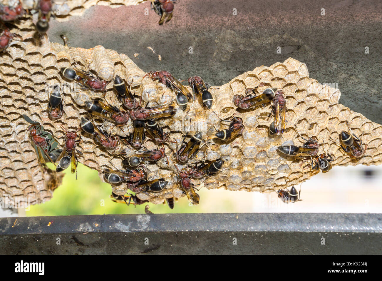 Wasp nest with wasps sitting on it. Wasps polist. - Stock Image